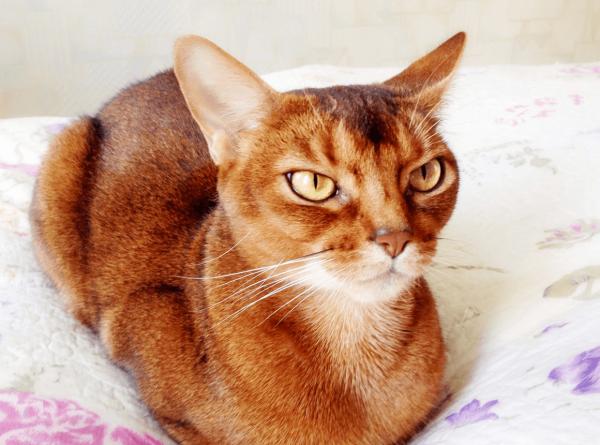 Абиссинская кошка лежит на белом одеяле