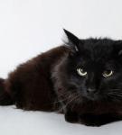 Йоркская кошка чёрный шоколад