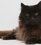Йоркская кошка тёмный шоколад