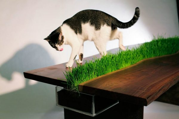 Трава для кота на журнальном столе