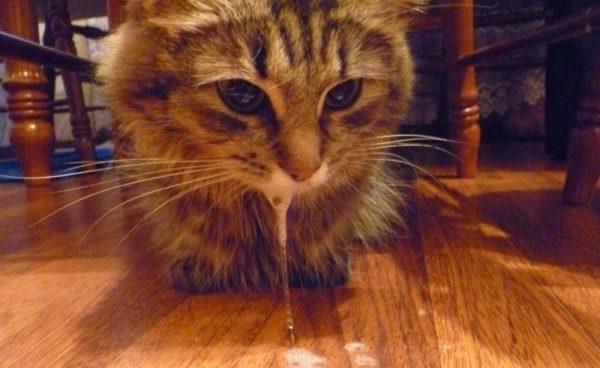 Пенистая слюна у кошки