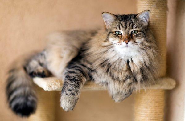 Сибирский кот лежит на полочке игрового комплекса