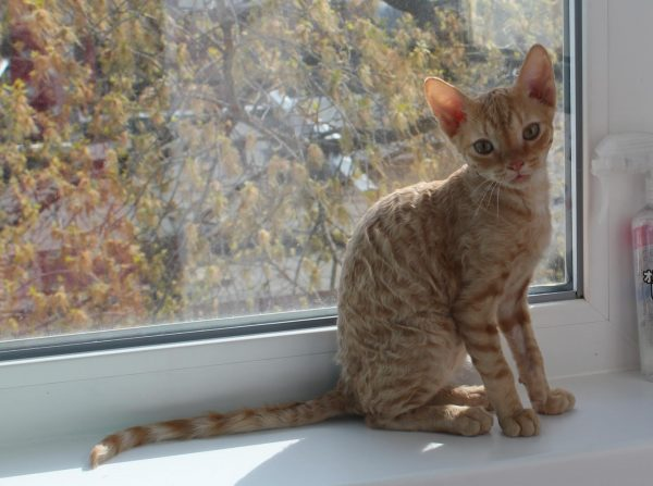 Котёнок уральского рекса на подоконнике