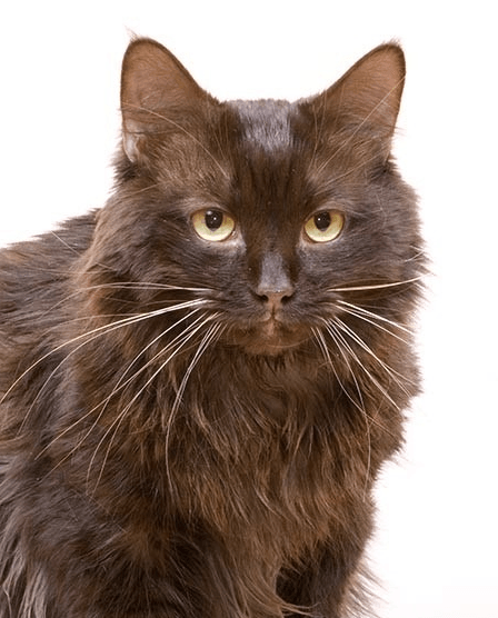 Йоркская кошка сидит