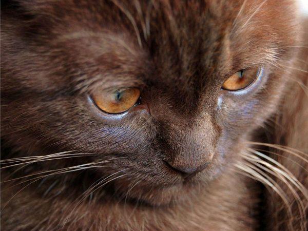 Йоркская кошка смотрит