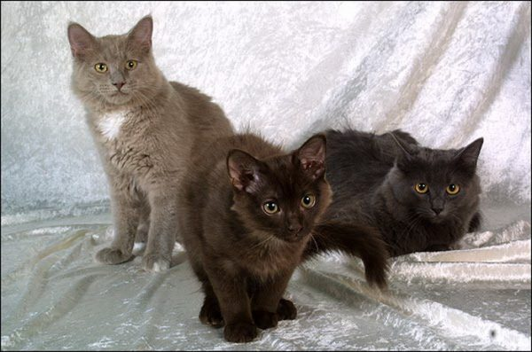 Три йоркских кошки