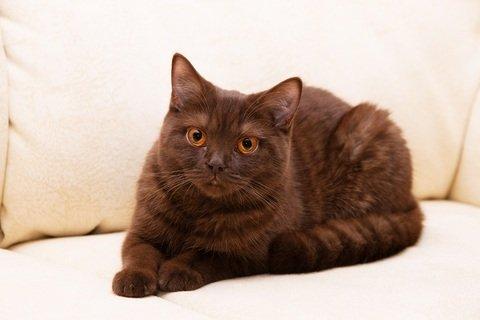 Йоркская кошка полосатая
