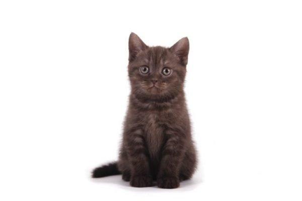 Котёнок йоркской шоколадной