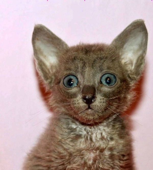 Удивлённый котёнок уральского рекса