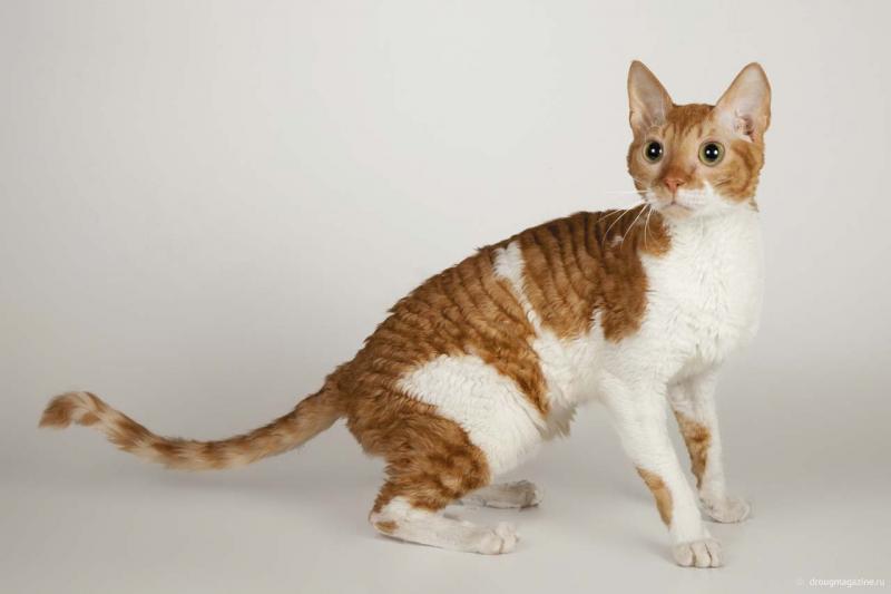 Вс о кошках породы уральский рекс