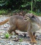 Калимантанская кошка серого окраса