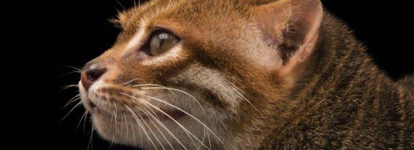 Голова суматранской кошки на чёрном фоне