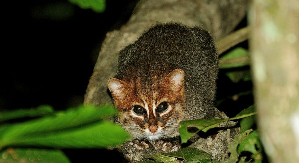 Суматранская кошка сидит на дереве в ночи