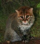 Суматранский кот сидит на стволе дерева и смотрит вперёд