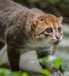 Суматранский кот идёт по тропе, глядя вверх