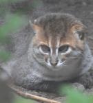 СУматранский кот лежит на земле, подвернув передние лапы к животу