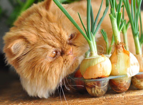 Кошка и лук