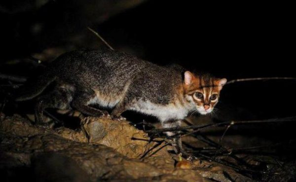 Суматранская кошка стоит на берегу реки ночью