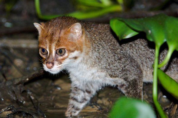Суматранская кошка выходит из кустов