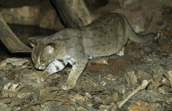 Беременная суматранская кошка идёт по тропе