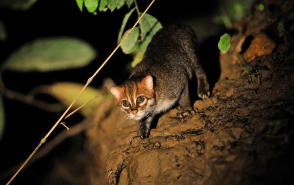 Суматранская кошка стоит на глинистом обрыве в мангровых зарослях ночью