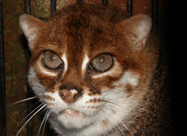 Голова суматранской кошки, глядящей вверх