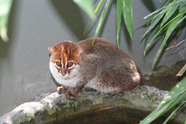 Суматранская кошка сидит на бетонном колодце под деревом