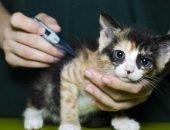Котёнок, у которого измеряют температуру