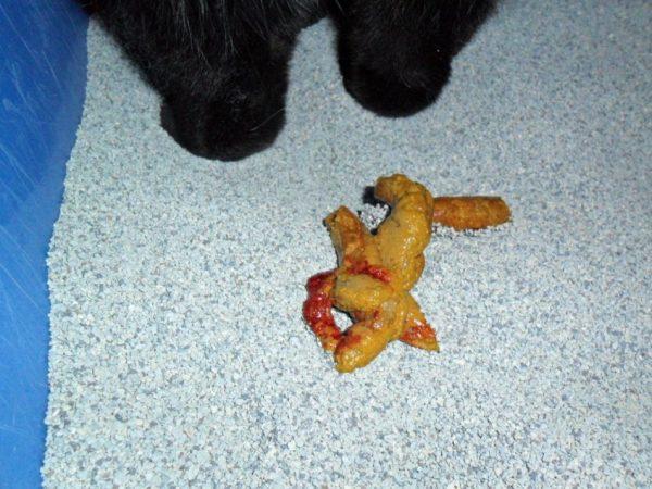 Кал с кровью у кота