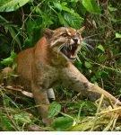Калимантанская кошка шипит
