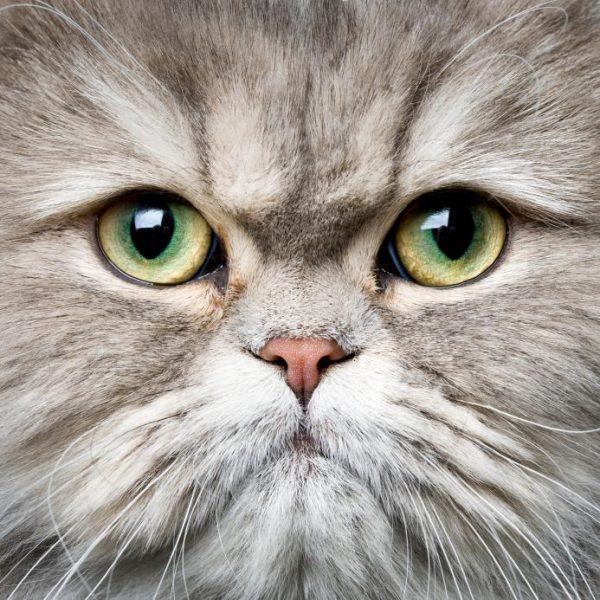 Глаза персидских кошек