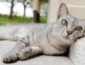 Серый кот отдыхает
