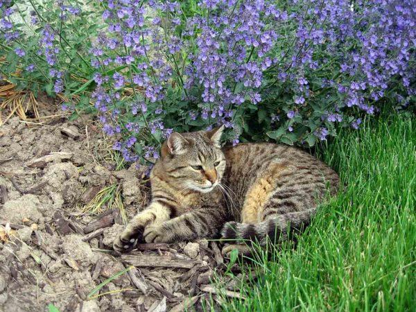 Кот на фоне кошачьей мяты