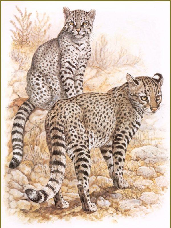 Кошки Жоффруа на рисунке