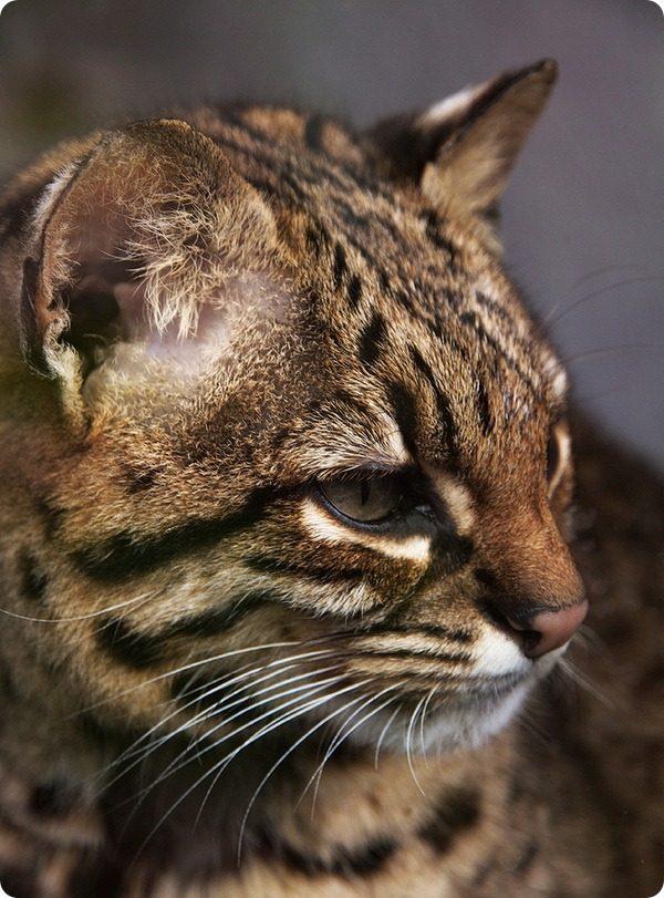 Мордочка кошки Жоффруа в профиль