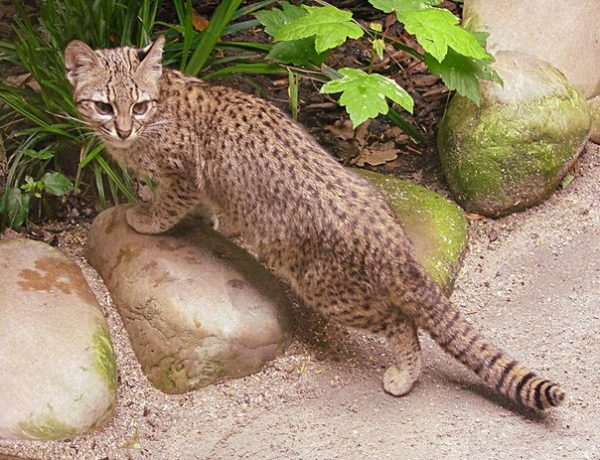 Кошка Жоффруа на камнях
