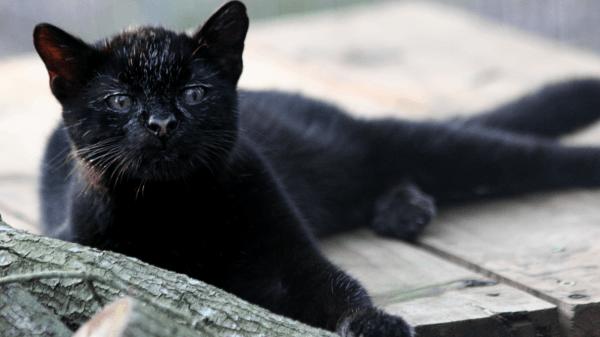 Кошка Жоффруа чёрная