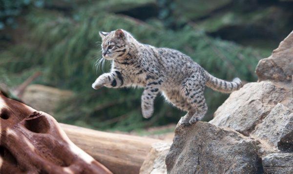 Кошка Жоффруа в прыжке