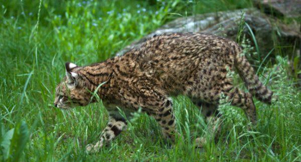 Кошка Жоффруа в траве