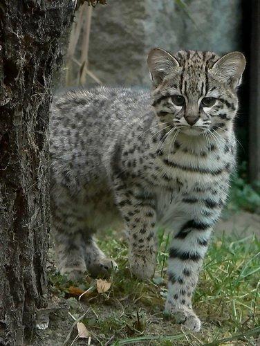 Кошка Жоффруа за деревом