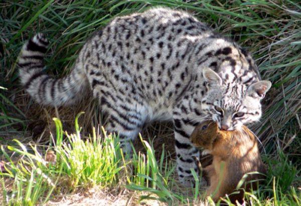 Кошка Жоффруа с добычей