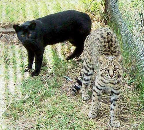 Кошки Жоффруа — чёрная и пятнистая