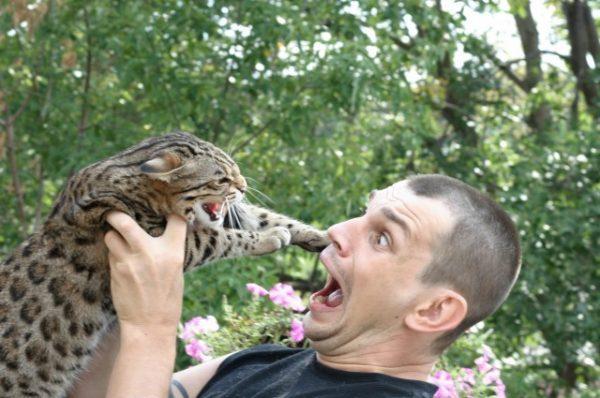 Кошка Жоффруа с человеком