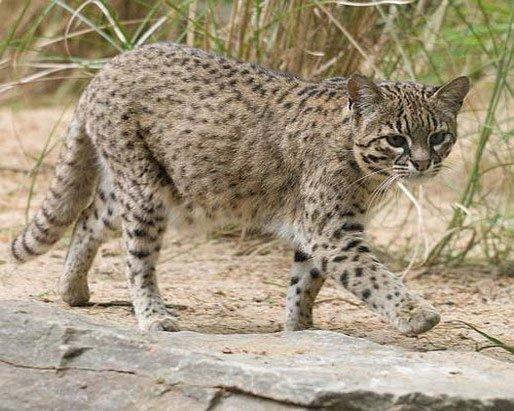 Молодая кошка Жоффруа
