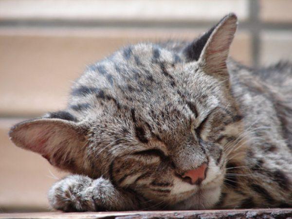 Кошка Жоффруа дремлет