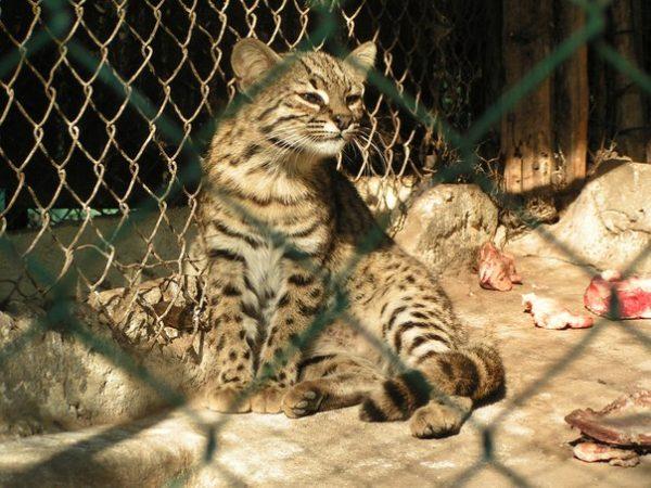 Кошка Жоффруа в клетке