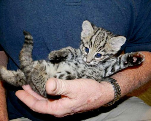 Котёнок Жоффруа на руках