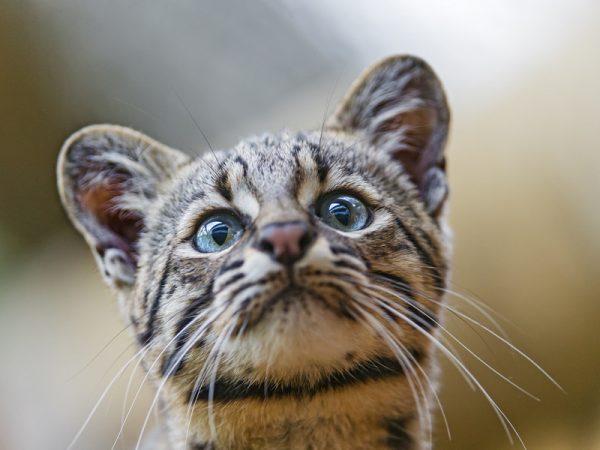 Мордочка котёнка Жоффруа