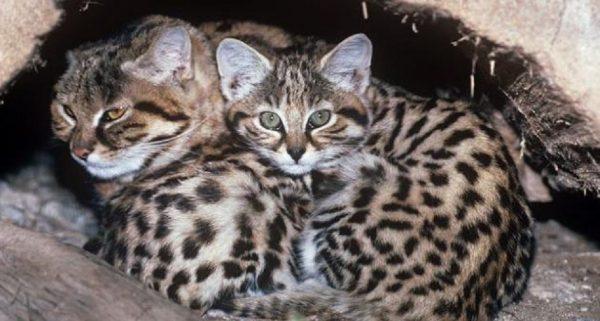 Кошка Жоффруа с котятами