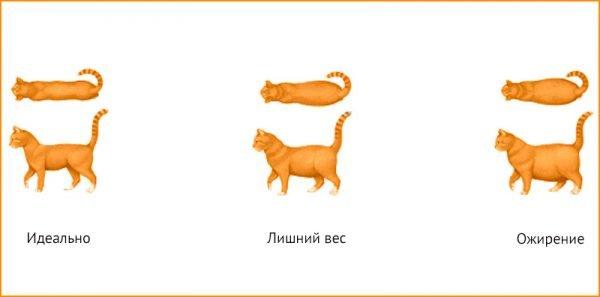 Внешний вид кошки при нормальном, избыточном весе и ожирении